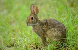 Novi Zeland oslobađa virus da pobije zečeve