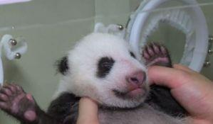 VIDEO: Traži se ime za bebu pandu