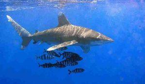 Okeanska beloperka na listi ugroženih vrsta