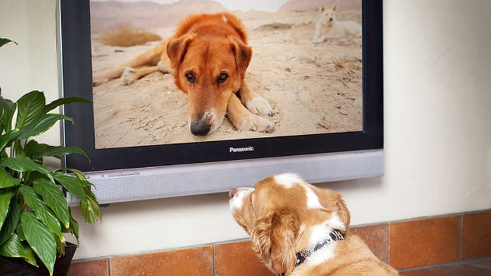 Zašto psi vole da gledaju televiziju?