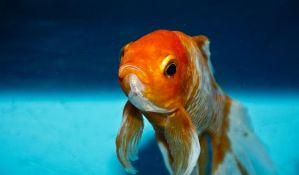 Nude utočište zlatnim ribicama