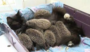 VIDEO: Maca usvojila gomilu malih ježeva