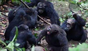 VIDEO: Šimpanze nemilosrdno uklanjaju vođu s vlasti