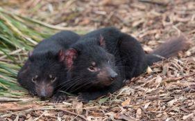 Nađeni zdravi tasmanijski đavoli, postoji nada da vrsta neće izumreti
