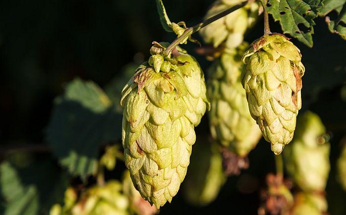Sve više malih pivara u Srbiji, a hmelj se gaji samo na jednom mestu u Vojvodini