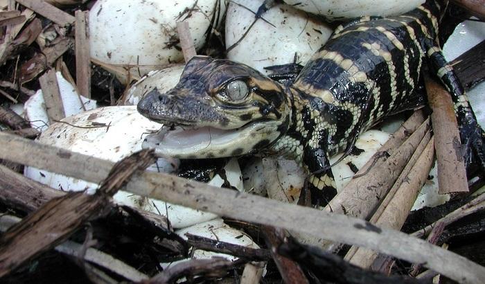 Iz zoo vrta pobeglo 78 mladunaca krokodila
