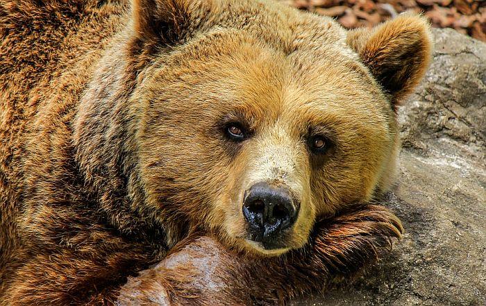 FOTO: Tužan prizor iznemoglog medveda u gomili smeća