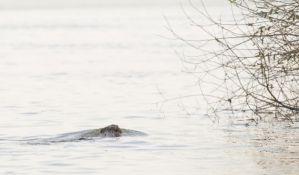FOTO: Dabar pliva Dunavom u Petrovaradinu