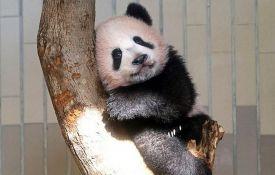 VIDEO: Javnosti predstavljeno mladunče pande u tokijskom zoo vrtu