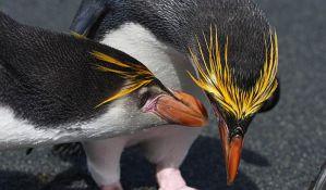Carskom pingvinu preti odumiranje