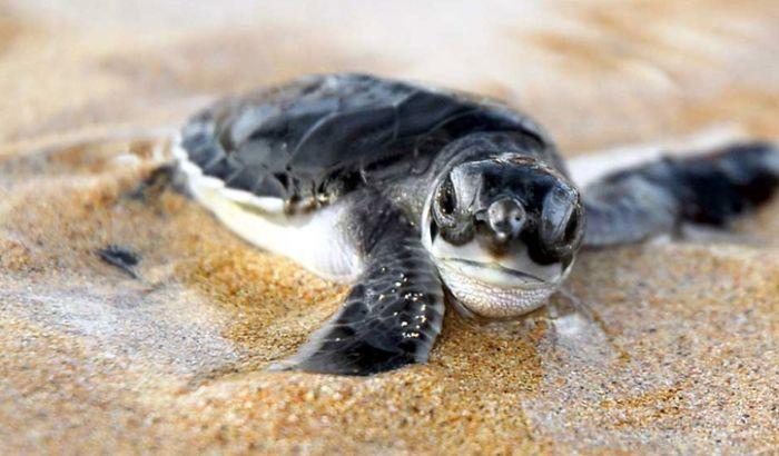 Uhapšeni zbog uzimanja kornjačinih jaja sa plaže