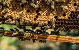 Bačko Novo Selo: Sve više apikomora - klinika korisnih i za pčele i za ljude