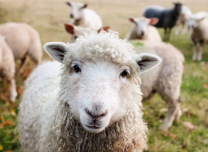 Čobanin kažnjen sa 50.000 dinara jer je čuvao ovce za vreme policijskog časa