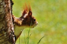 FOTO: Veverica za četiri dana u automobilu sakrila 70 kg oraha