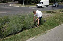 Zelenilo: Muškarac sekao lavandu na Keju, apelujemo na očuvanje zelenih površina