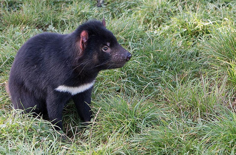 Hteli da spasu tasmanijske đavole, pa istrebili male pingvine