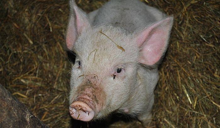 Potvrđena afrička kuga svinja u Srbiji