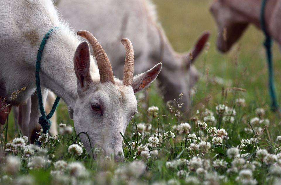 VIDEO: Koze u misiji uništavanja korova u njujorškom parku