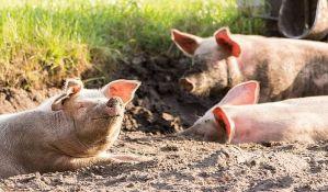 Oko 250 svinja pobeglo sa farme i pravilo lom u gradu