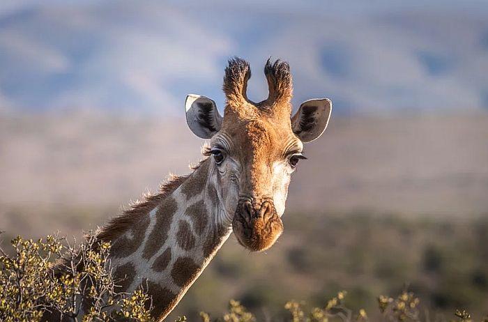 VIDEO: Žirafe iskočile iz kamiona dok su ih prevozili u zoo vrt i pobegle