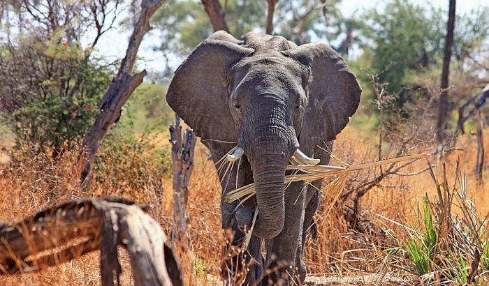 Velikim afričkim sisarima zbog ratova preti izumiranje