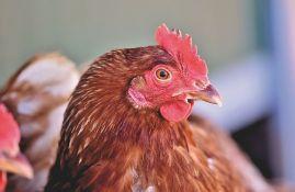 U Južnoj Koreji zbog ptičjeg gripa ubijeno 400.000 kokošaka i pataka