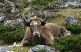 Uginulo najmanje 300 himalajskih jakova
