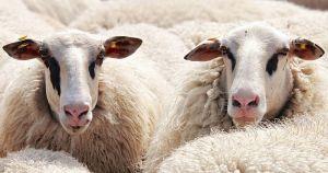 U školu upisali ovce jer ima premalo učenika