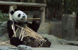Kina dobija novi nacionalni park za pande, biće tri puta veći od Jeloustouna