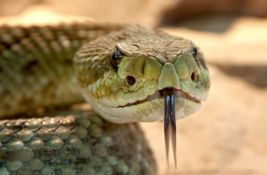 Potencijalni lek za kovid: Otrov brazilske zmije smanjuje ćelije virusa