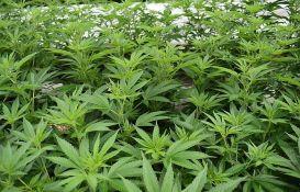 Uzgajao marihuanu u kući u okolini Novog Sada