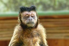 Majmunima iz zoo vrta draži zvuk saobraćaja od zvukova prirode