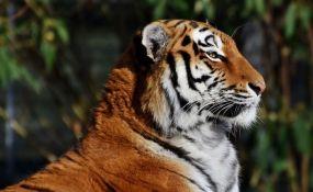 Tigar u Indiji prešao više od 1.700 kilometara kako bi pronašao ženku