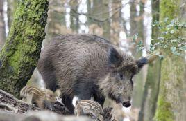 Poljski ministar predložio da policija puca na zaražene divlje svinje