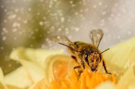 Studija: Pčele bolje oprašuju kad konzumiraju kofein
