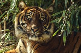Sumatranski tigrovi iz zoo vrta u Džakarti se oporavili od kovida