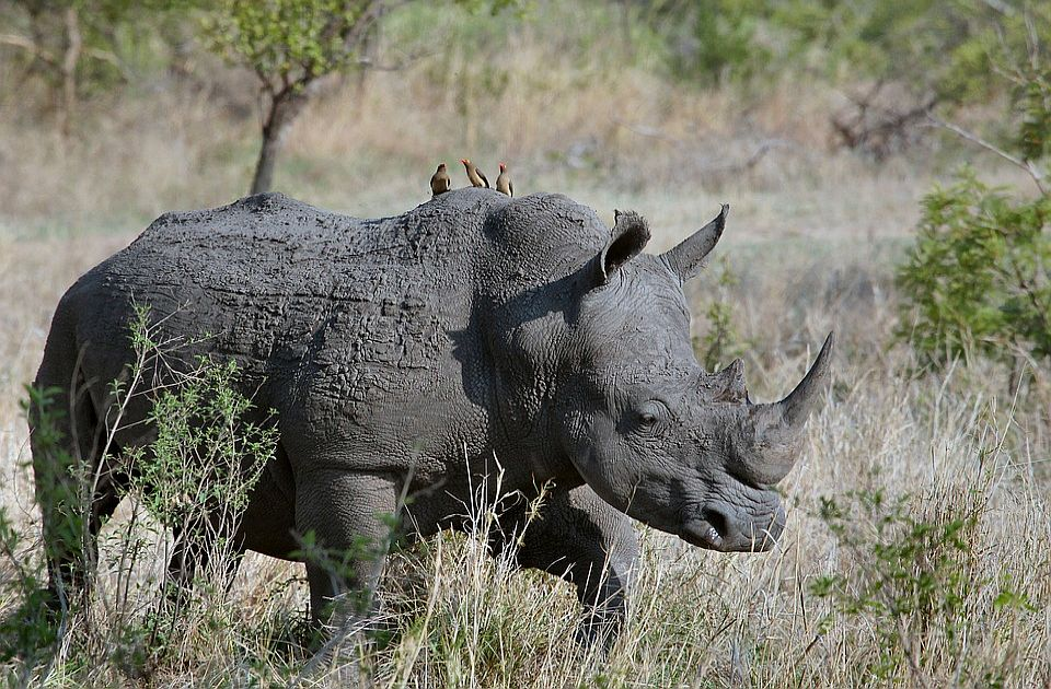 U Južnoj Africi ubijeno za trećinu više nosoroga nego prošle godine