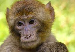 Majmun kojeg je vlasnik navukao na alkohol, pobesneo i počeo da napada ljude