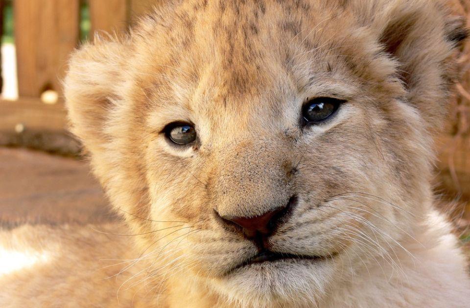 Subotički zoo vrt dobio novog direktora, ali je smrt lavića i dalje misterija