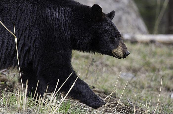 Izašla u dvorište i ubio je medved