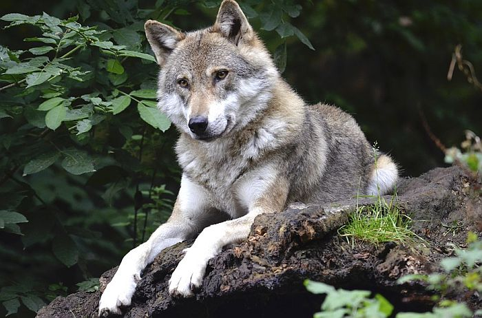 Za godinu dana ubijeno 176 vukova, 666 divljih mačaka i 141.000 fazana