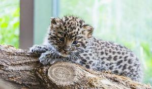 Mladunče leoparda pokušao da prošvercuje u ručnom prtljagu