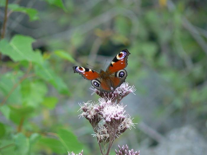 Klimatske promene uništavaju leptire