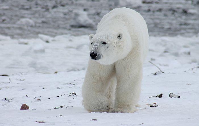 Preti mu godinu dana zatvora zbog ubistva polarnog medveda