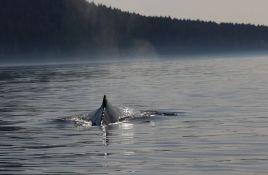 Kod San Franciska četiri mrtva siva kita za devet dana
