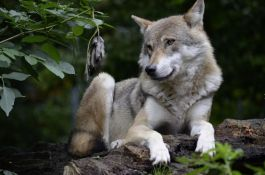 Nemačka: Rasprava o tome da li treba dozvoliti odstrel vukova