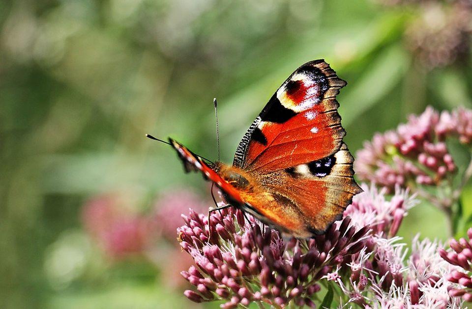 Zemlja u kojoj živi najviše vrsta leptira na svetu