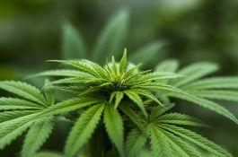 Krivična prijava protiv meštanina Sremskih Karlovaca zbog marihuane