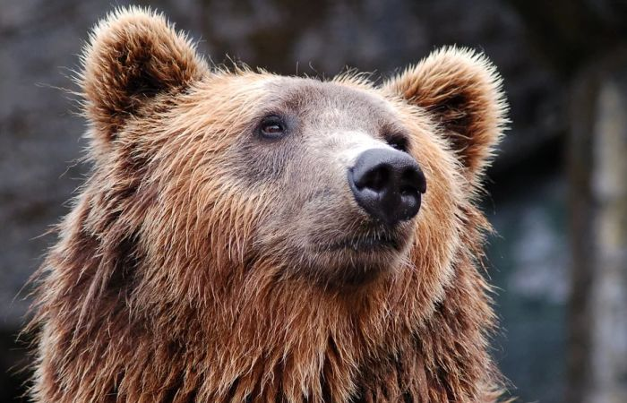 VIDEO: Luda trka automobila i medveda