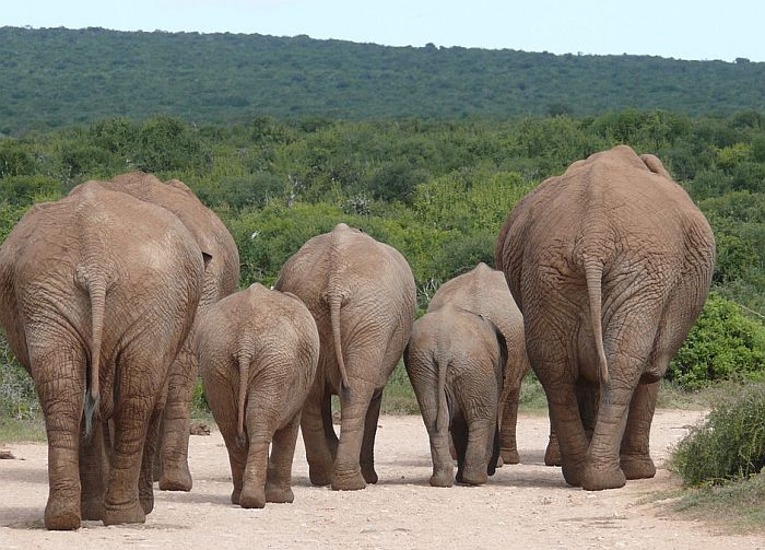 Krdo slonova ubilo lovokradicu